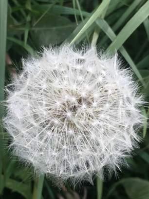 puffball dandelion
